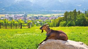 A goat sitting on a rock in Switzerland. This is the image used as part of the header on harretz.com. JTB Photo/Getty Images